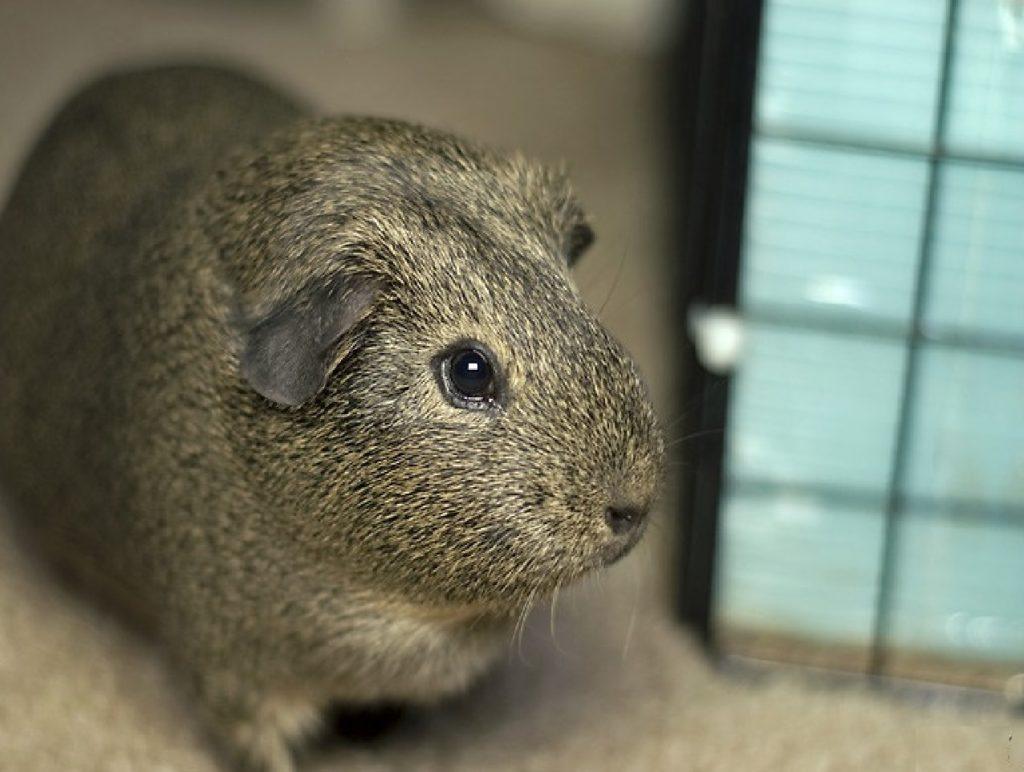 homemade guinea pig cages